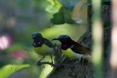Summenvogel, der sich/betrachten, Summenvogel, der verwirrt schaut Lizenzfreie Stockbilder