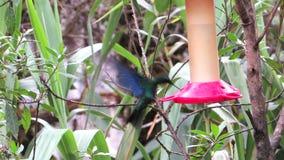 Summenvogel-Fütterung stock footage
