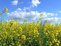Summer 1. Canola field with clouds on sky Stock Photography