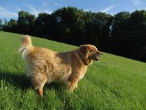 Summer. Golden retriever standing in park royalty free stock image