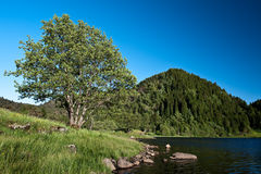 Summer. Tree by the lake in Norwegian landscape at summer Stock Photo
