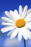 Summer. Close up of an Ox-eye daisy Stock Photo