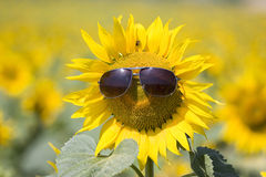 Summer. Closeup on a sunflower with sunglasses Royalty Free Stock Photo