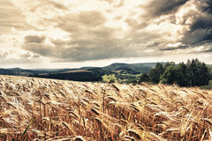 Summer. Field with yellow wheat in hdr Stock Photos