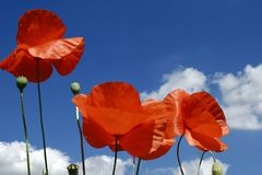Summer. Three red poppies and a blue sky in the background stock photos