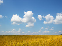 Summer. A field of wheat in ukraine stock photography