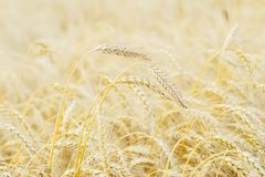 Summer afternoon. Golden field of ripe cereals. Several high tall ripe full-grain cereal close-up against yellow rye. Field. Rural background Royalty Free Stock Image
