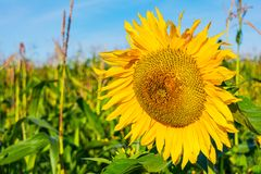 Summer agricultural field with yellow sunflower Stock Photography