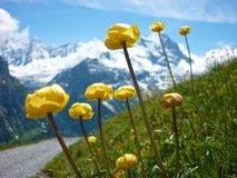 Summer in Alps mountains, Switzerland. Summer in Alps mountains. Contrast of yellow Trollies flowers and snowy peaks Stock Photos