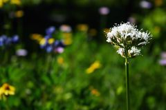 Summer alpine flower. Summer hiking flower detail view Stock Photography