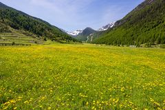 Summer in the Alps. Blooming alpine meadow and lush green woodland set amid high altitude mountain range. Summer in the Alps. Blooming alpine meadow and lush stock photography