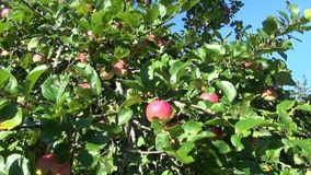 Summer apple tree garden with red sweet  apples stock footage