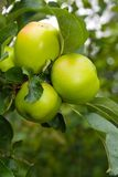 Summer Apples Stock Images
