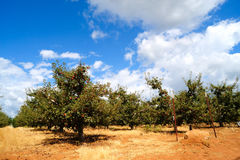 Summer Apples Orchard Stock Images