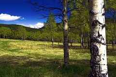 Summer Aspen Trees in Colorado. Summer Aspen Trees in a mountain meadow Stock Photo