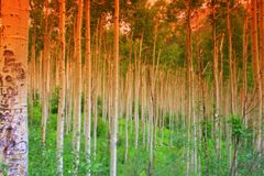 Summer Aspens Royalty Free Stock Images