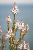 Summer Asphodel Stock Photos