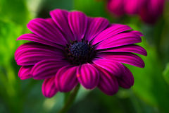 Summer aster flower. Aster flower in front of the garden Royalty Free Stock Images