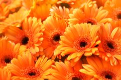 Free Summer/autumn Blossoming Gerbera Flowers Orange Background Royalty Free Stock Photos - 156271188