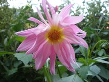 Summer-autumn sweet-scented flower dahlia. This summer-autumn dahlia flower is very unpretentious in care. beautifully decorate your garden or flower bed Royalty Free Stock Photography