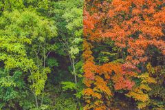 Summer and autumn forest. Transformations of summer into autumn Stock Image
