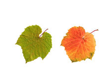 Summer and Autumn Grape Leaves Stock Photos