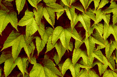 Summer or Autumn Leaves?. Closeup of leaves royalty free stock photo