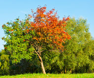 Summer and autumn (seasons), red and green leaves Stock Photo