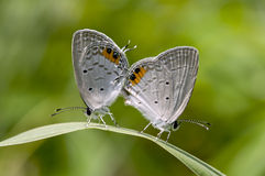 Summer Azure butterfly Stock Photography