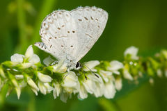 Summer Azure Butterfly Royalty Free Stock Image