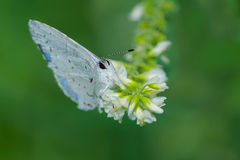 Summer Azure Butterfly. Royalty Free Stock Photo