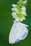 Summer Azure Butterfly. Royalty Free Stock Image