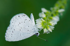Summer Azure Butterfly. Royalty Free Stock Photography