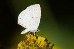 Summer Azure Butterfly Royalty Free Stock Photos