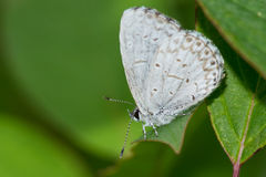 Summer Azure Butterfly Royalty Free Stock Photo