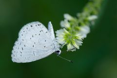 Summer Azure Butterfly. Collecting nectar from a white flower. Colonel Samuel Smith Park, Toronto, Ontario, Canada Stock Image