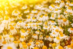 Summer background with beautiful daisies field in wam sunlight royalty free stock photo