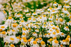 Summer background with beautiful daisies field in wam sunlight stock photos