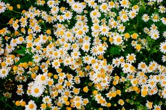 Summer background with beautiful daisies field in wam sunlight royalty free stock photography
