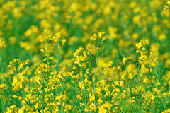 Summer background: blooming canola Royalty Free Stock Images