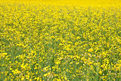 Summer background. Blooming yellow meadow. Summer background. Vibrant yellow meadow of blooming bittercress Stock Photography
