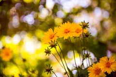 Yellow flowers in the garden Stock Photography