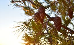 Summer Background Pine Tree Cones. Summer background. Branches of pine tree with cones in the sunset. In bright colors Stock Photography