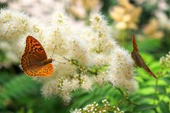 Butterfly urticaria sits on a flower. Summer background. Butterfly urticaria sits on a flower stock images