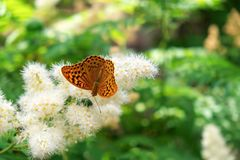 Butterfly urticaria sits on a flower. Summer background. Butterfly urticaria sits on a flower stock image