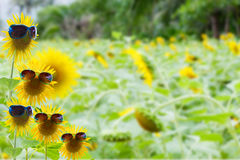 Summer background concept with sunflower,sunglasses on nature ba Royalty Free Stock Photo