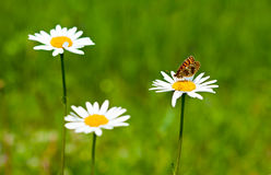 Summer background with daisies. Stock Images