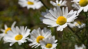 Summer background. Daisies on a sunny meadow Stock Photography