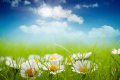 Summer background - field of daisy Stock Photos