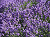 Summer background field of lavender flowers closeup Royalty Free Stock Image